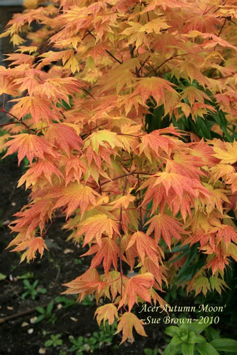 PlantFiles Pictures: Acer, Full Moon Maple, Japanese Maple