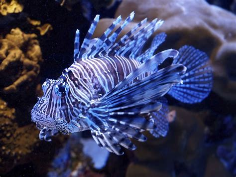 Unbelievably Fascinating Facts About Lionfish