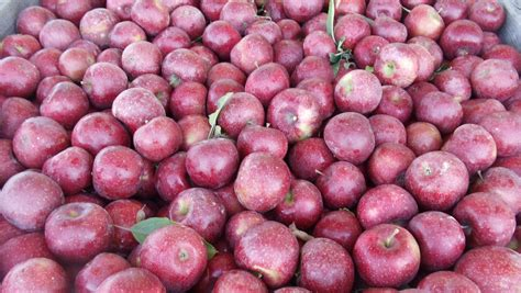 Fresh Picked Red Rome Apples — Mountain Fresh Orchards