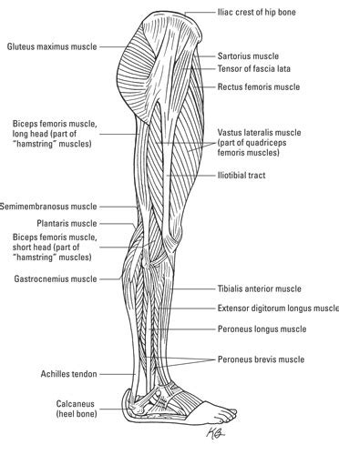 How the Muscular System Works - dummies