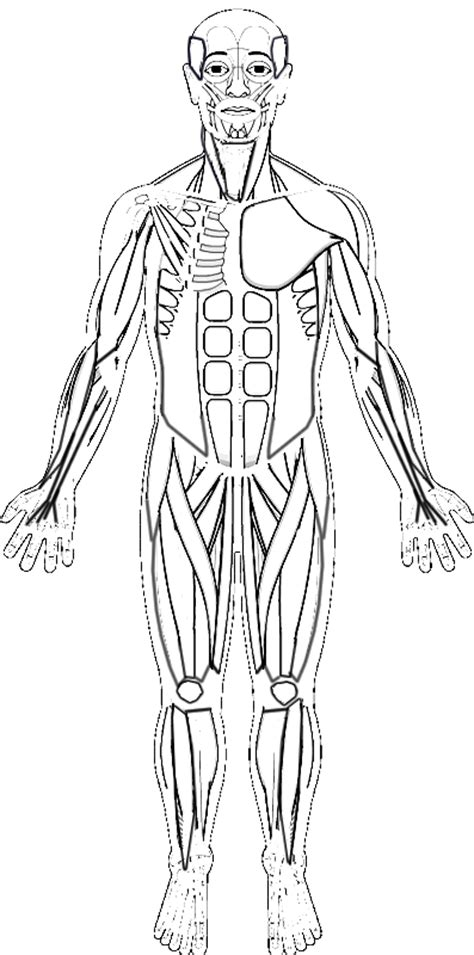 Human Muscles Coloring