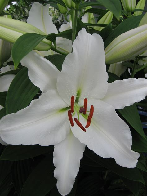 Oriental Lily Bulb Collection (Pack of 12 Bulbs) from the